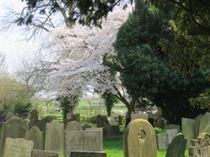 Cherry Tree; white blossom (28/3/2017)