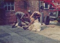 W0815b Sheep Shearing Water Lane Farm 1979