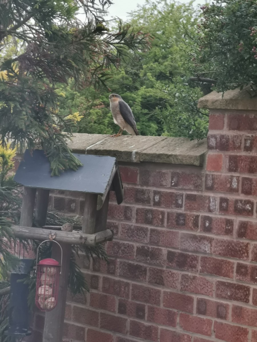 Sparrowhawk by Wendy Bond